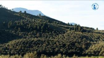 Skördetid hos Fontanas olivoljeproducent