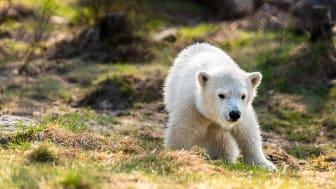 Miki – isbjörnsunge i Rovdjursparken Foto Grönklittsgruppen .jpg