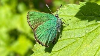 Bild på en grönsnabbvinge