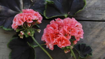 Pelargonium Brocade ´Salmon NIght´