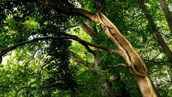 Frejlev Skov er udvalgt som en af landets vigtigste skove for natur og biodiversitet, og købet sikrer, at vigtige dele af skoven fremover forbliver urørt til glæde for biodiversiteten, klimaet og et vildere Danmark. Foto af Jesper Edvardsen