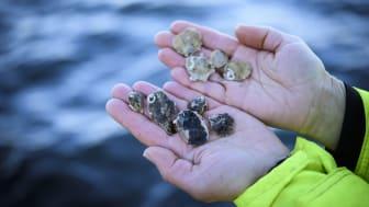 Stor forskningssatsning på vattenbruk runt Atlanten