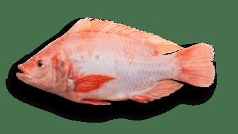 Rödstrimma fisk