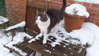 Katteinspektør Helle Nielsens missedreng Heino nyder livet som forkælet genudsætningskat.