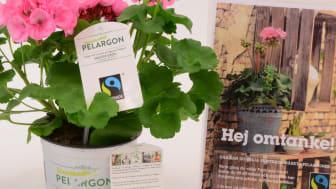 Den första Fairtrade-märkta Pelargonen som odlats färdig i Sverige finns nu i handeln.