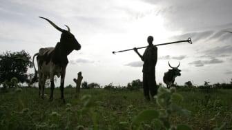 Bonden Maun Kaila i Niger låter sina kor gödsla ett hirsfält innan plantering. Foto: ILRI/Stevie Mann