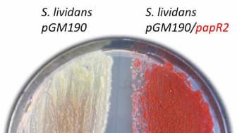 Wachstum von Streptomyces lividans auf Agarplatte. Links die Kontrolle, rechts der Stamm mit dem SARP-Überexpressionkonstrukt (pGM190/papR2)