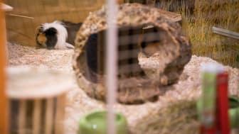 """Meerschweinchen """"Quincy"""" in der Adoptierstube Mannheim-Vogelstang"""