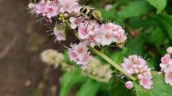 Pollinatören Humlebagge (Trichius fasciatus) på häckspirea (Spiraea salicifolia) i Arboretum Norr i Umeå.