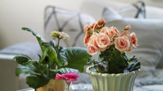 Blommande krukväxter skapar vårkänsla i hemmet.