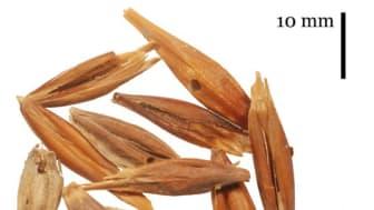 Genom att göra DNA-analyser på arkeologiskt korn har forskare funnit att samma korn har odlats på Kanarieöarna i mer än 1 000 år.