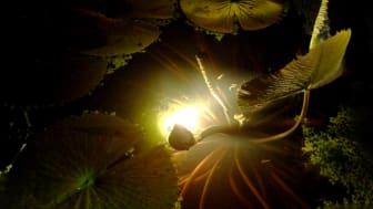 Under halvmånen – Växthusnatt i Bergianska trädgården