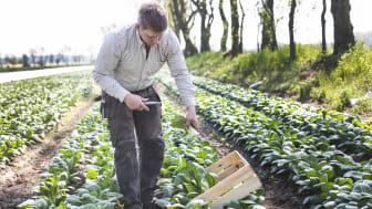 SydGrönts odlare HD Odling i Mjällby i Blekinge är den första storskaliga odlaren att odla Pak Choi i Sverige