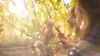 Diel vineyard