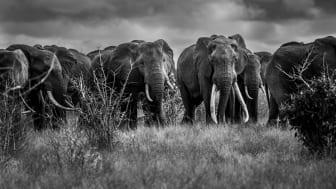 Stora elefanter med långa betar i Tsavo, Kenya