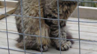 Katten Diana från katthemmet Tassebo i Helsingborg
