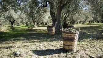 Olivskörd i Grekland