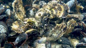 Nytt forskningsprojekt undersöker hotbilden mot musslor och ostron