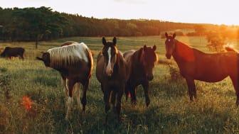 Filmpremiär! Sydöstra Skåne - platsen där hästar och människor trivs