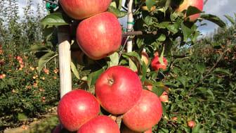Äpplet Frida är ett av de svenska äpplen som nu kan köpas året runt. Foto: Äppelriket Österlen