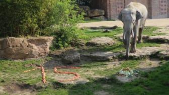 Elefantenbulle Voi Nam entdeckt seine Geburtstagsüberraschung