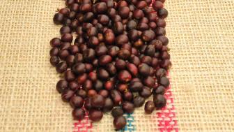 Castillo kaffe- stadier av mognad