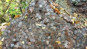 50-talls - mynt: Det kan være snakk om opp mot flere tonn mynt som denne uken ble funnet i skogen utenfor Kongsberg i Buskerud
