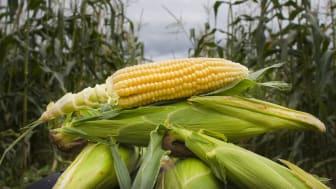 Økologisk produksjon av mais gir like store, eller større avlinger, enn konvensjonell produksjon, viser nyere forskning fra Iowa State University. Foto: Erik Røed / Økologisk Norge
