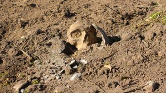 Kranie fundet af arkæologerne tæt på den 4000 år gamle grav på sommerhusgrund i Hornsherred, Frederikssund kommune. Foto: ROMU