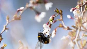 Humla hämtar nektar och pollen i ett fruktträd.