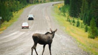 Se upp för vilt på vägarna – undvik kollision