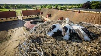 Storkarna har återvänt till Skåne. Foto: Sven Persson