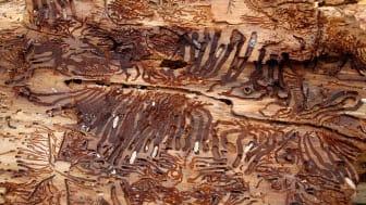 Trä skadat av granbarkborre. Foto: Harald Kloth, Wikimedia