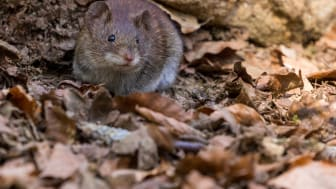 Höstens råttinvasion är här