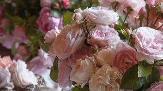 Vi fyller växthuset med rosor från David Austron och andra rosettrosor