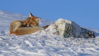 Rødrev i vårsol  - Troms