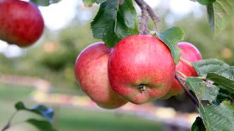 Klimatförändringarna påverkar landets äppelodlare