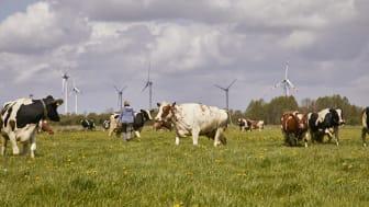 Arla Hof in Schleswig-Holstein, Kühe beim Weidegang.
