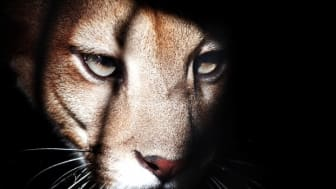 Directors flee from Cougar