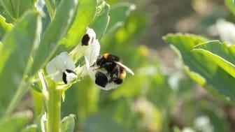 Mörk jordhumla pollinerar åkerböna. Foto: Chloë Raderschall
