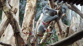 Tinaroo zieht ins Koala-Haus ein © Zoo Leipzig