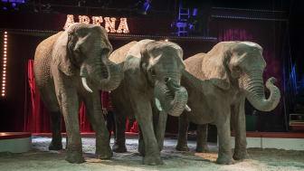 Hvis alt går vel, har cirkuselefanterne en dejlig fremtid i Knuthenborg Safari Park. Foto: Cirkus Arena