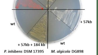 Petrischale mit roten, weißen und braunen Meeresbakterien aus der Roseobacter-Gruppe