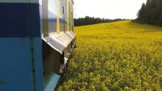 Det ekonomiska värdet av honungsbinas pollinering i odlade grödor i Sverige uppgår till 315-641 miljoner kronor. Foto: Preben Kristiansen