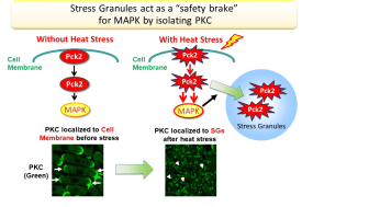 "Elucidation of the role of ""Stress Granules"" that can be therapeutic targets for cancer and ALS -- Kindai University"