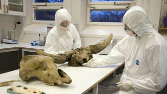 Grottbjörnars DNA analyseras i särskilt rena laboratorier och för att inte blanda provet med annat DNA bär forskarna skyddsdräkter. På bilden syns även en skalle från en stäppbison. Foto Staffan Waerndt, Naturhistoriska riksmuseet