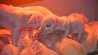 Nyfødte grise