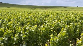 Verzenay red vineyard.jpg