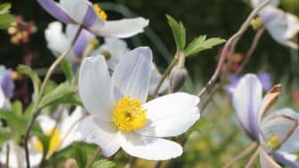 Anemone 'Wild Swan' Trädgårdsanemon - nyhet 2014 Blomsterlandet