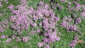 Backtimjan Thymus serpyllum 'Pink Chintz'. Vårnyhet 2014 Blomsterlandet
